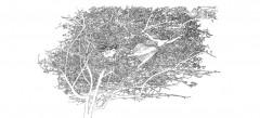 glialberi alchemici della Masseria Coccaro - inchiostro di china su carta di riso- cm.142x75